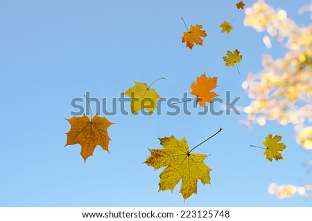 maple leaves against the sky - stock photo