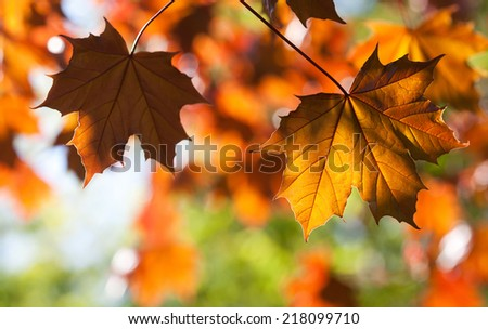 Maple leaves. Autumn. Closeup. (soft focus). - stock photo