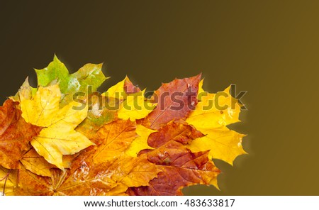 Maple leaves, autumn. Multicolored leaves from red to yellow