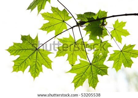 Maple leaves background in sunlight - stock photo