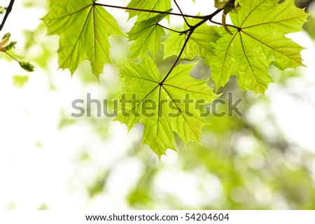 Maple leaves background in sunlight