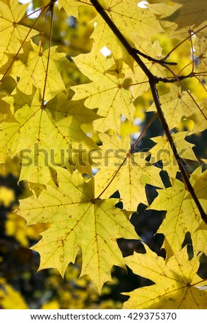 Maple leaves branch in autumn forest - stock photo