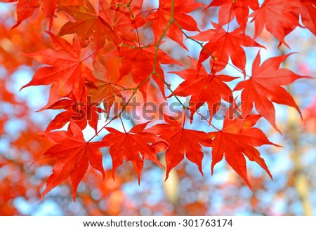 Maple leaves change color and fall off trees in autumn - stock photo
