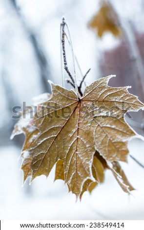 Maple leaves covered with hoarfrost. Close up. - stock photo