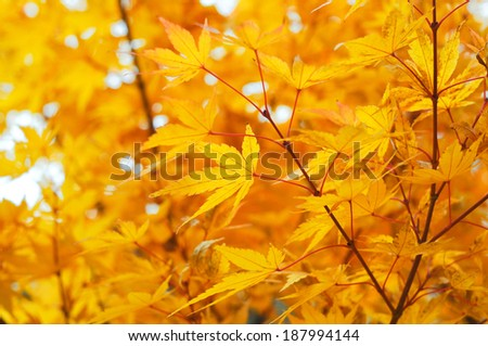 Maple leaves during autumn - stock photo