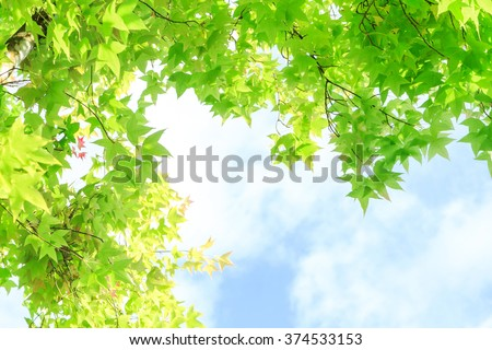 Maple leaves for background