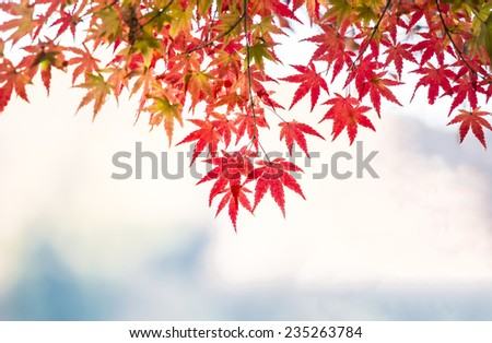 Maple leaves in autumn with red and yellow vivid colors. - stock photo