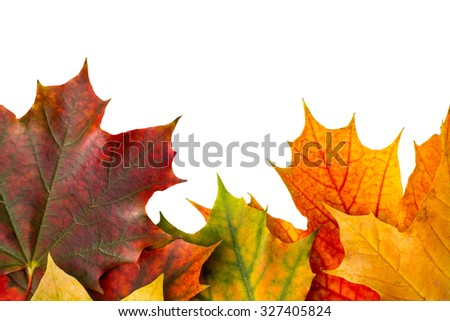 maple leaves isolated - stock photo