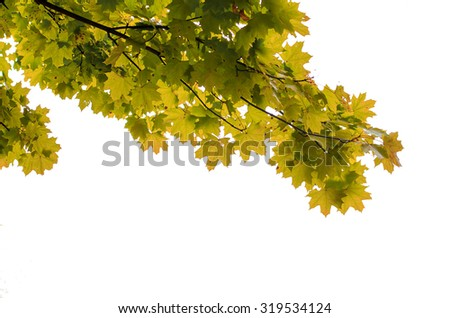 Maple leaves isolated on a white background - stock photo