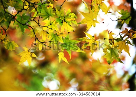 Maple leaves of different colors - stock photo