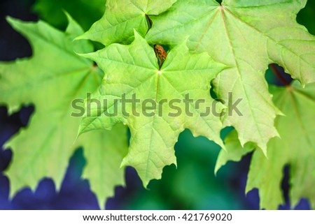 Maple leaves on the outside nature background - stock photo