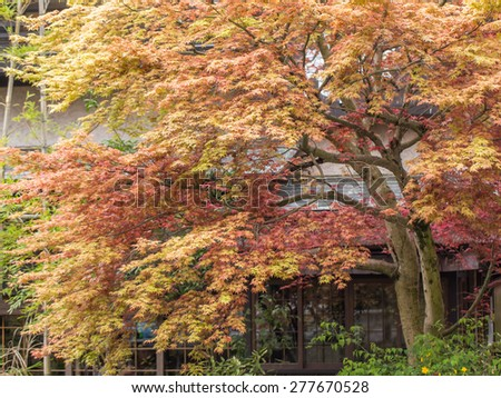 Maple leaves tree  in front of a Japanese House - stock photo
