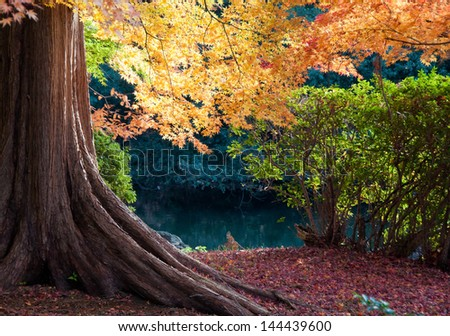 Maple of the garden shines with gold - stock photo