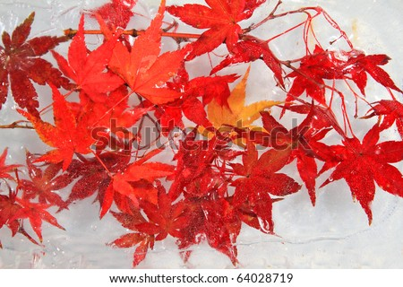 Maple red leaf frozen in ice cold concept fall or autumn or winter season landscape view