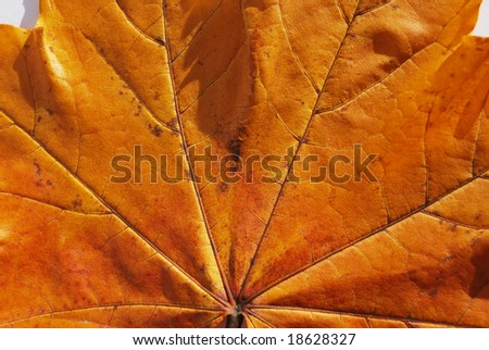 Maple's  leaf  close-up