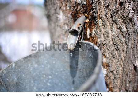 Maple sap drips into the bucket of a backyard maple syrup hobbyist in Springhill, Nova Scotia. - stock photo