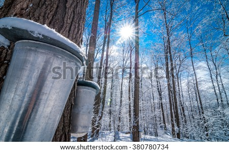Maple syrup collection buckets for a sugar shack in the Maple wooded winter forest. - stock photo