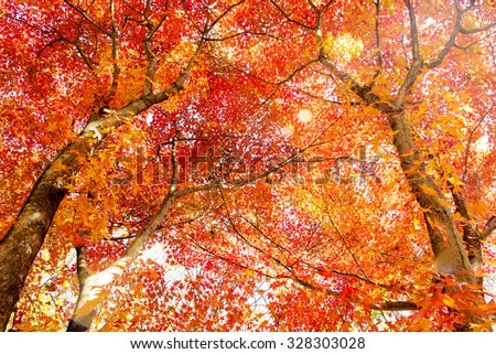 Maple tree in autumn in korea. - stock photo