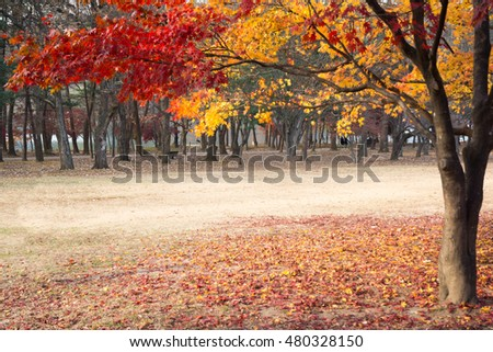 Maple tree in autumn in Nami island, South Korea.