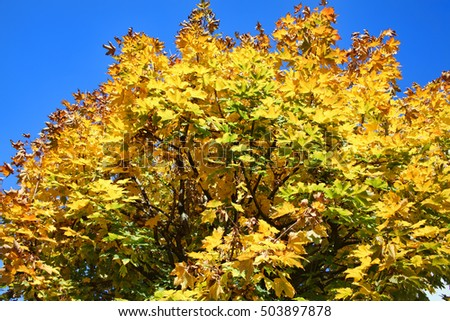 Maple tree in the autumn fall with golden leaves and a clear blue sky