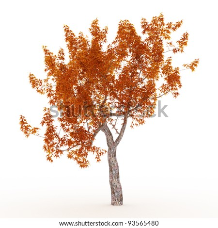 maple tree in the fall isolated on white