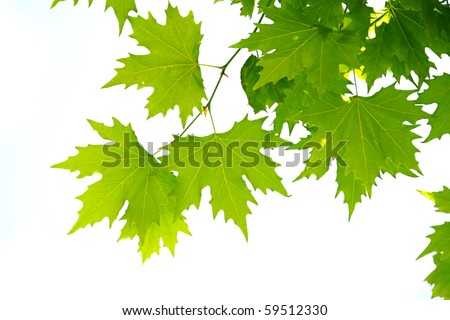 Maple tree leaves Close-Up - stock photo