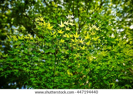 Maple tree leaves in spring  - stock photo