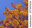 Maple tree, low angle view, close-up - stock photo