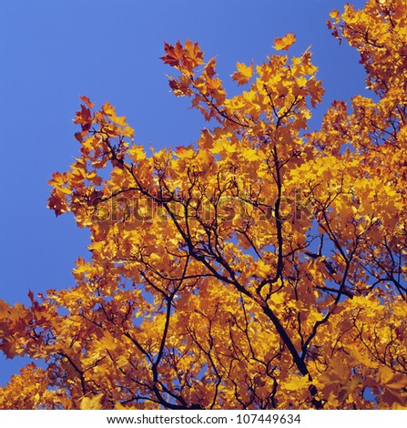 Maple tree, low angle view, close-up