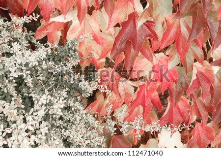 Maple tree with blue sky - stock photo