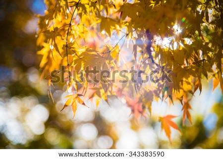 maple tree with colorful autumn leaves - stock photo