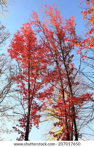 Maple tree with red leaves, close up