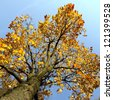 Maple tree with yellow and orange leaves and blue sky - stock photo