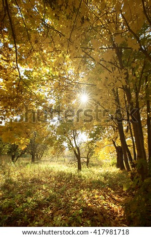 maple trees  in the autumn forest and sunny morning light - stock photo