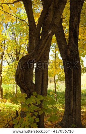 maple trees tree in the autumn forest and sunny morning light - stock photo