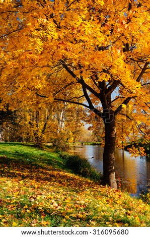 Maple with yellow leaves. Autumn in the park with a river - stock photo