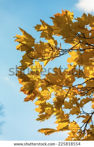 Maple yellow leaves on a background of the sky