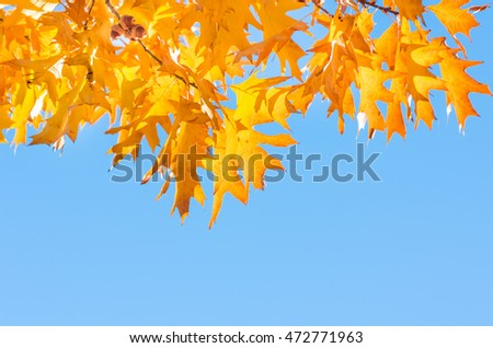 Maple yellow leaves on the branches of trees in autumn