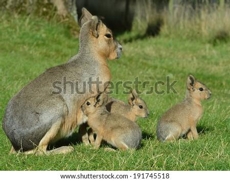 Mara and babies - stock photo