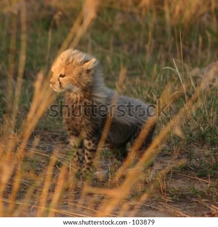mara cheetahs 3,04 - stock photo