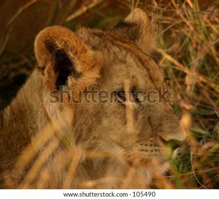 Mara lions 1,04 - stock photo