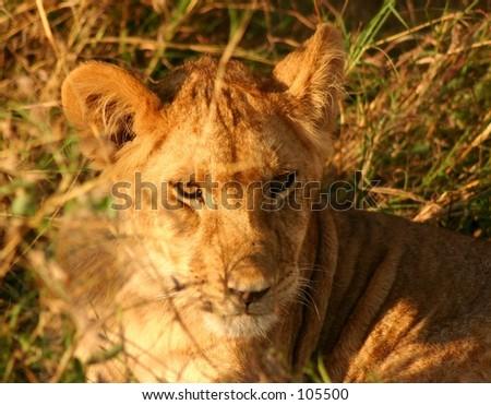 Mara lions 11,04 - stock photo