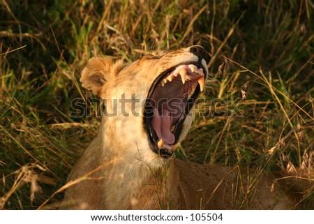 Mara lions 15,04 - stock photo