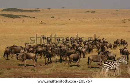 mara migration 1,04 - stock photo