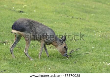 Mara pasturing on a green grass lawn - stock photo
