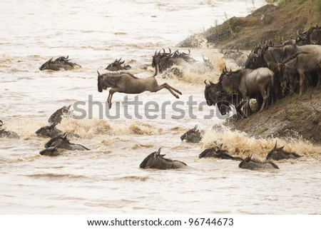 Mara River crossing in Masai Mara Reserve, Kenya. Wildebeest. - stock photo