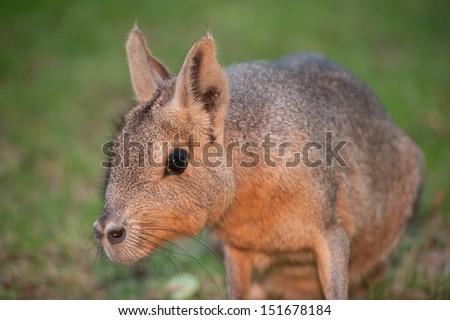 mara rodent  - stock photo