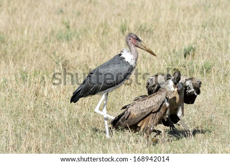 Marabou Stork and vultures  - stock photo