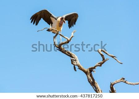 Marabou Stork birds (Leptoptilos crumenifer) in flight against a blue sky in Botswana, Africa - stock photo