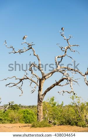 Marabou Stork birds (Leptoptilos crumenifer) perched on a dead tree against a blue sky in Botswana, Africa - stock photo